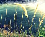 Wheat On Water II by anarae22