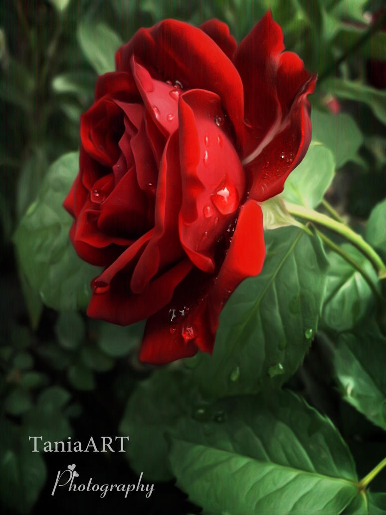 Red Rose by TaniaART