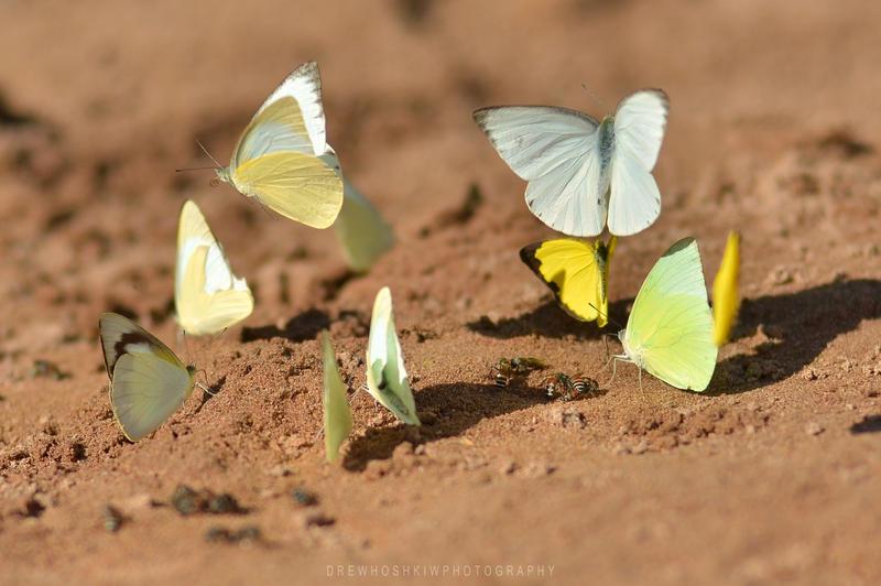 Beach Butterflies by drewhoshkiw