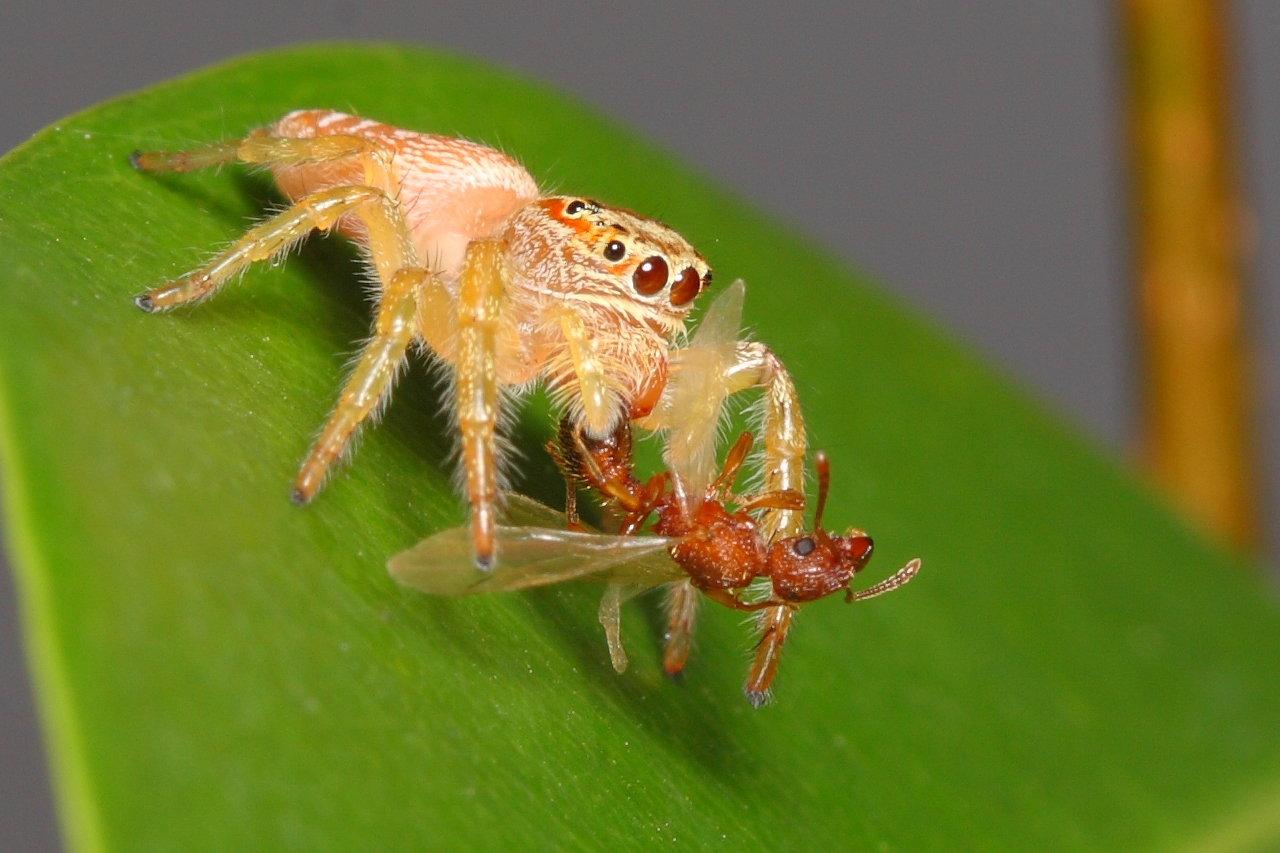 jumping spider wallpaper