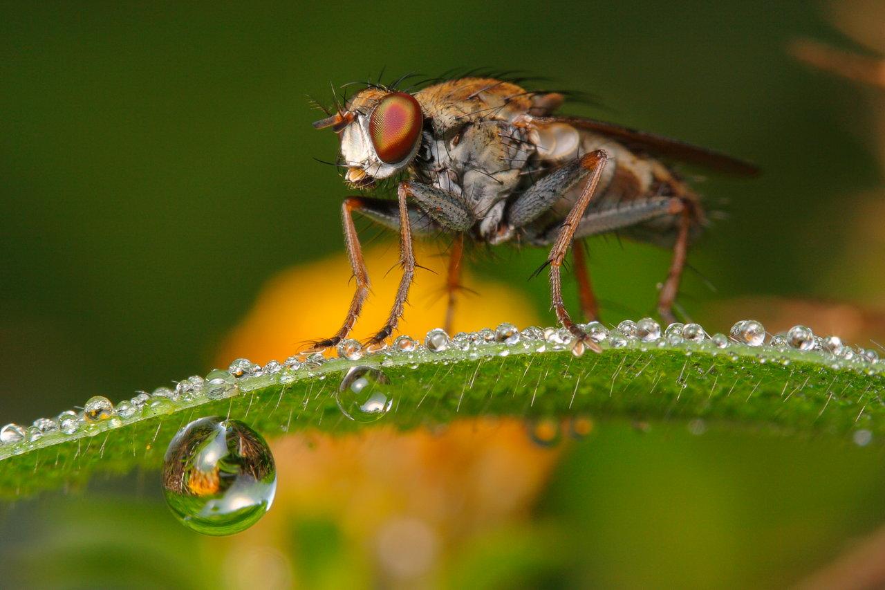 Dewy Fly by troypiggo