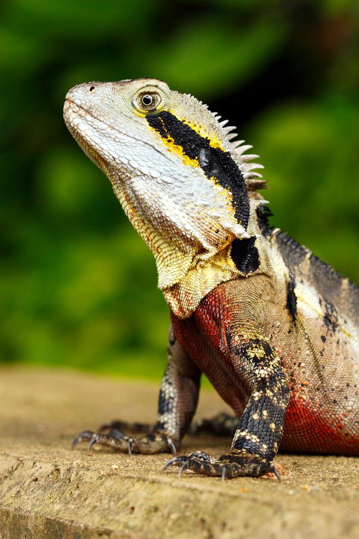Australian Water Dragon Lizard: Australian Water Dragon By Troypiggo On DeviantArt