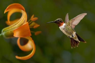 Hummingbird hovering 3 by LoverPrints