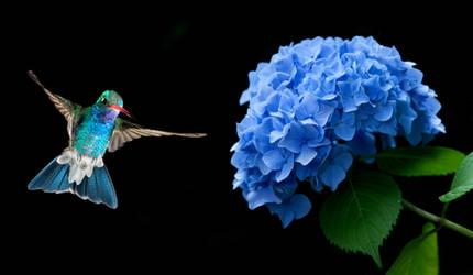 Hummingbird hovering 6