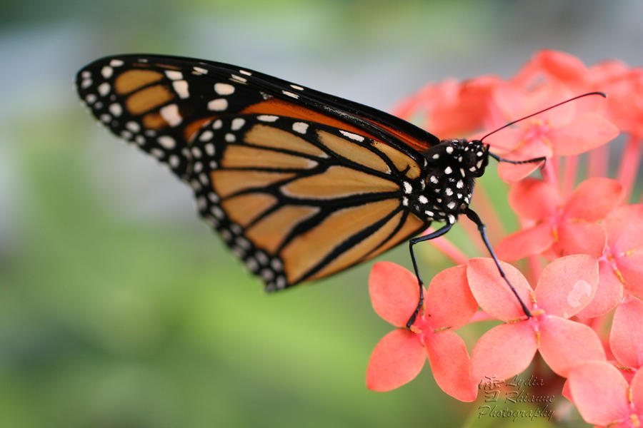 Mighty Monarch by LydiaRhianne