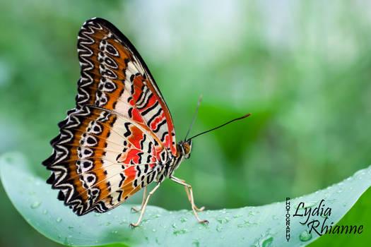 Orange Lacewing
