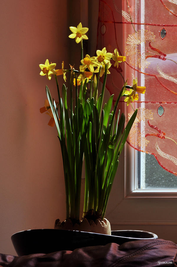 Jonquilles II by Rayon2lune