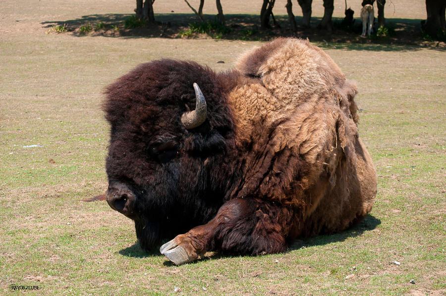 bison fute se repose by rayon2lune on deviantart. Black Bedroom Furniture Sets. Home Design Ideas