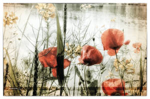 Coquelicots by Rayon2lune