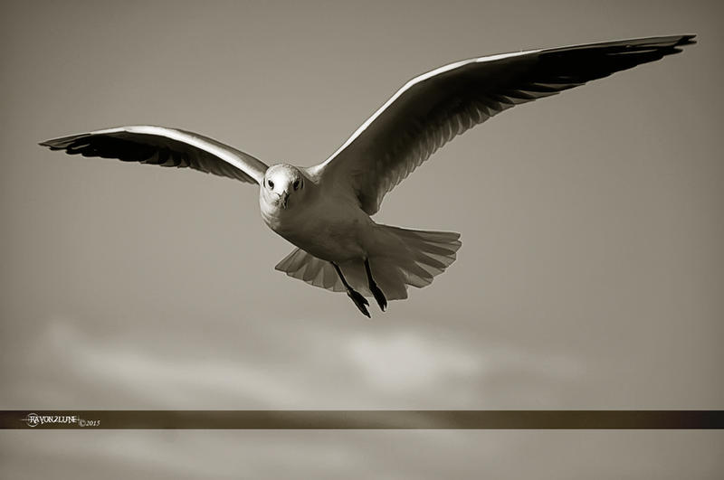 Seagull by Rayon2lune
