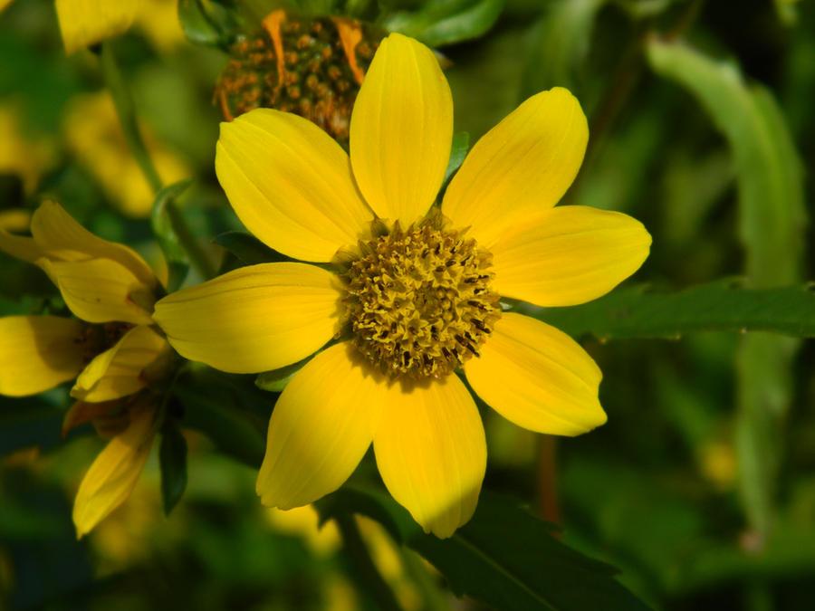 Marsh Marigolds by edgefan-talon on deviantART
