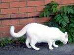 white cat stock 1