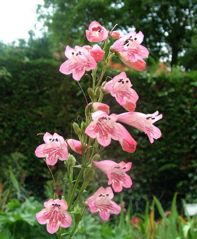 Pink bell flower stock by demoncherrystock on deviantart pink bell flower stock by demoncherrystock mightylinksfo Gallery