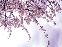 blossom stock 1 by DemoncherryStock