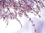 blossom stock 1