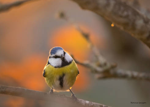A Blue tit and autumn bokeh