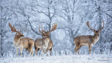 Fallow deer in wintry landscape