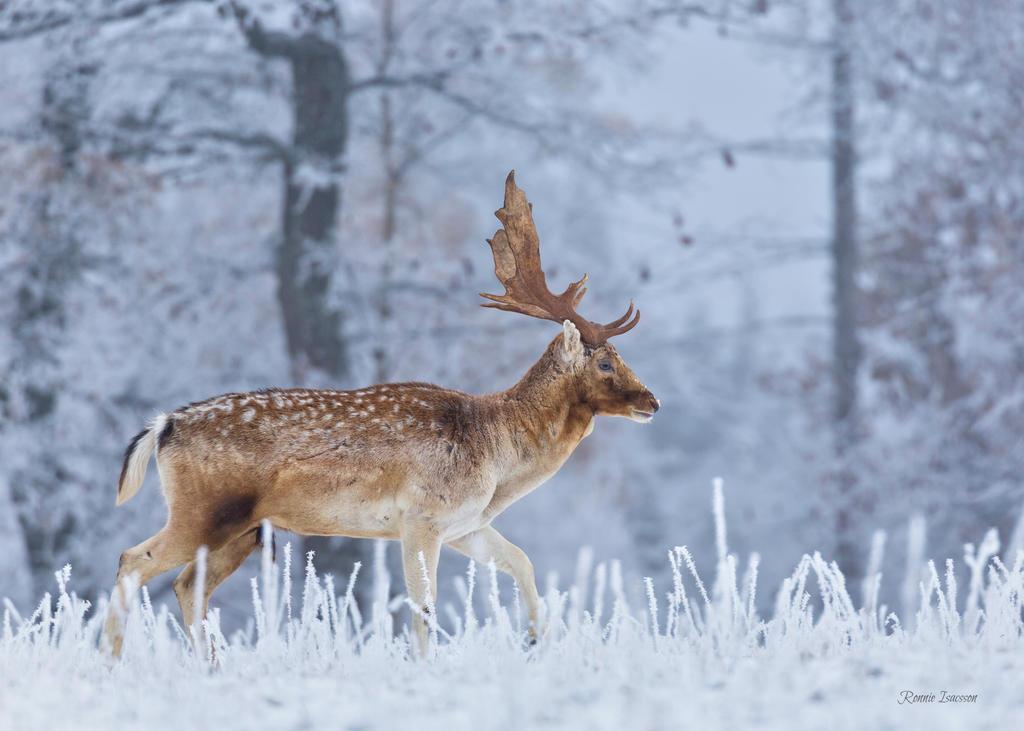 A Fallow deer calmly walking by roisabborrar