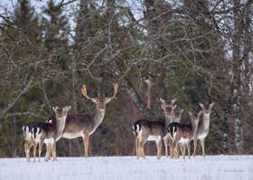 Looking at me ? Fallow deer by roisabborrar