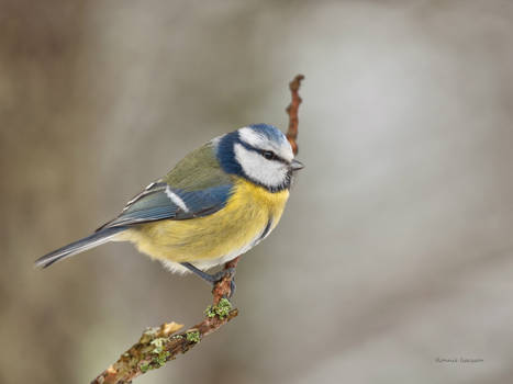A Blue tit resting for some sec