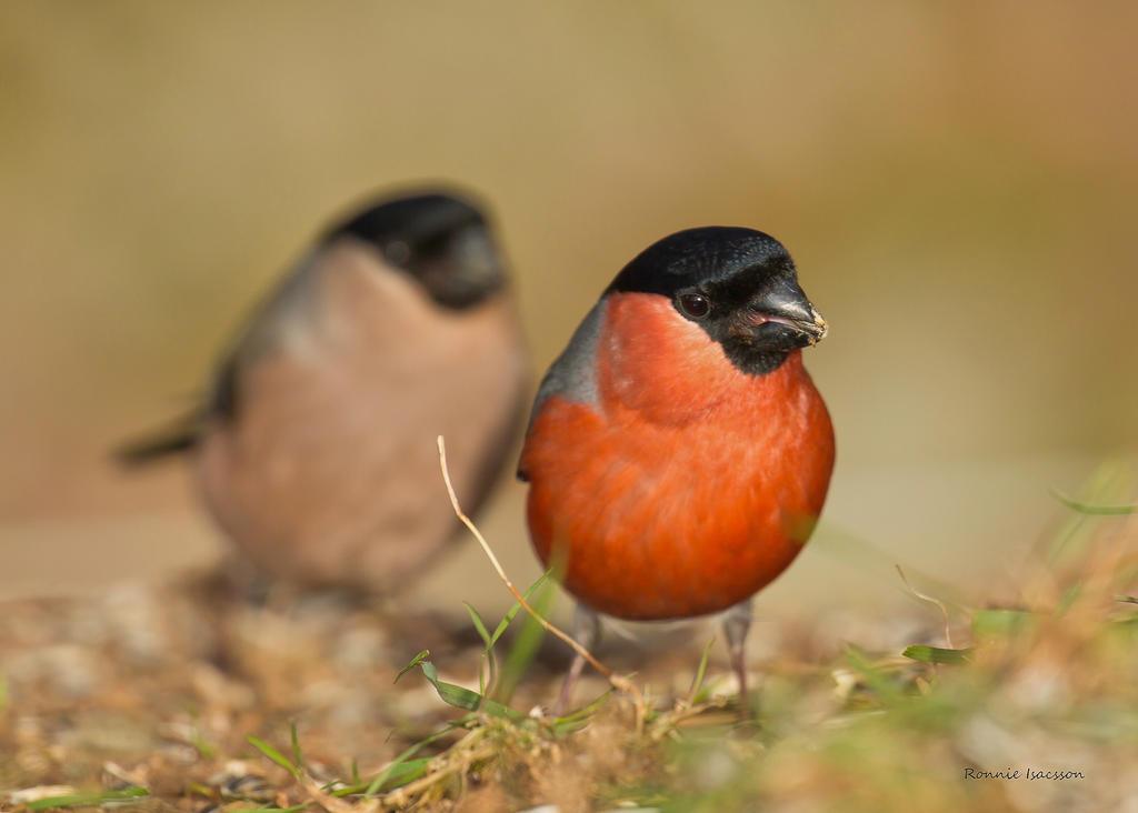 A pair of Bullfinch by roisabborrar