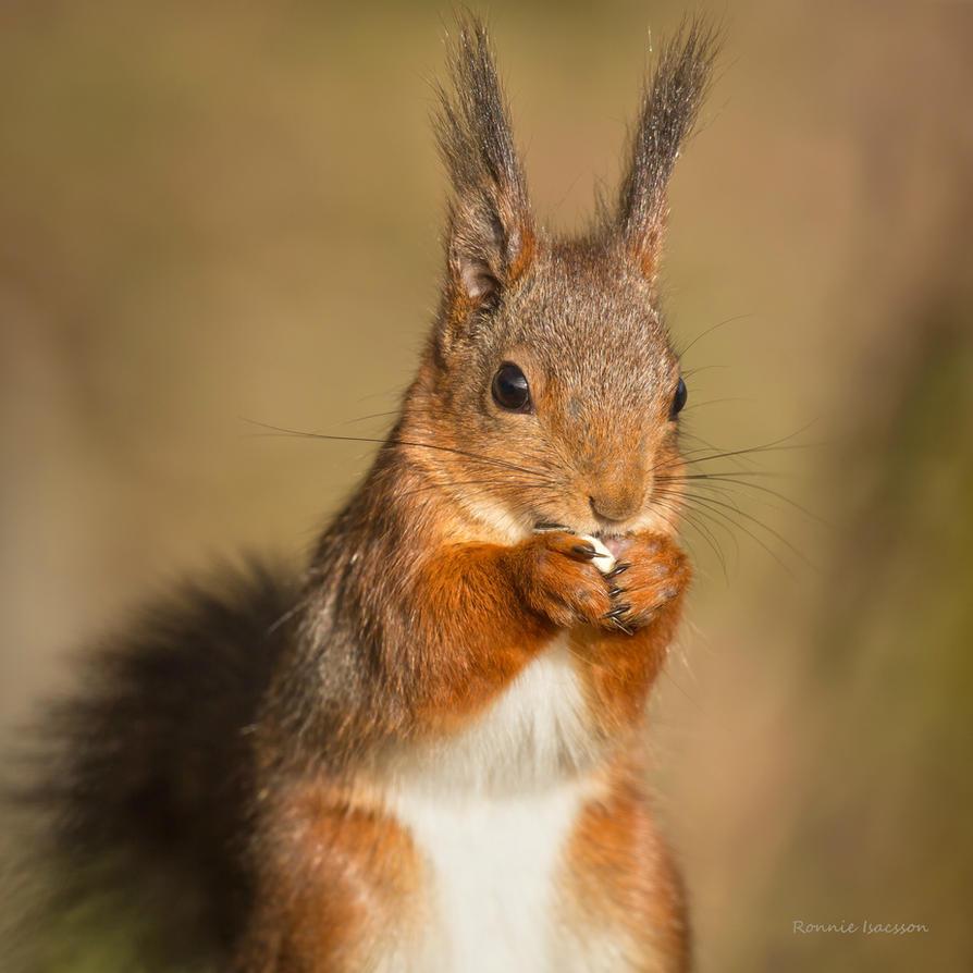Squirrel a cutie by roisabborrar