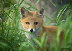 A young Fox by roisabborrar