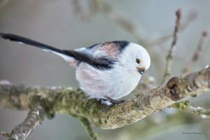 Long-tailed tit by roisabborrar