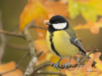 A Great tit among the autumn leaves by roisabborrar