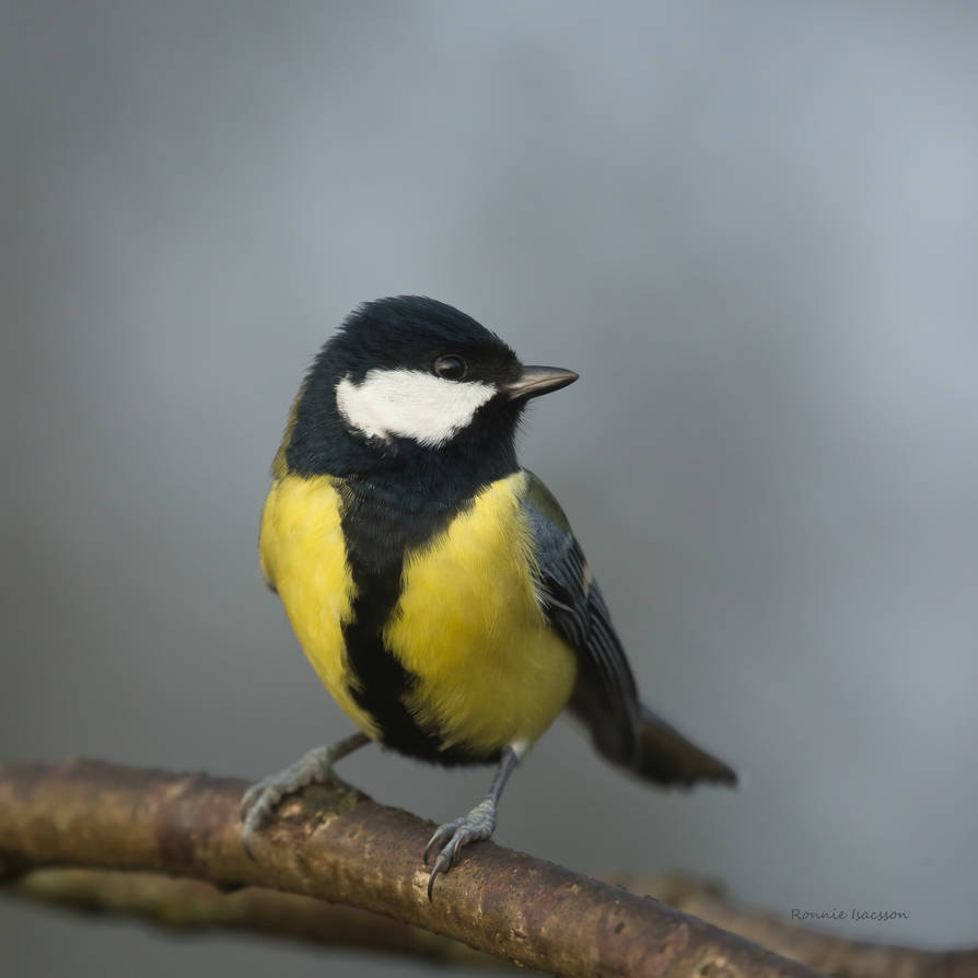 A Great tit this cloudy day by roisabborrar