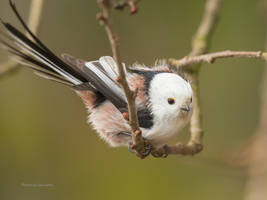 The long tailed tit by roisabborrar