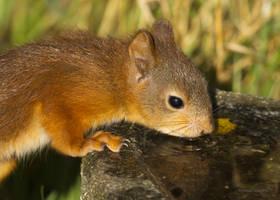 A Squirrel feeling thirsty