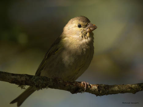 A Greenfinch spotted by the sun