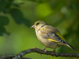 The Green finch