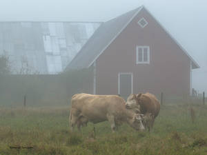 Foggy morning at the countryside