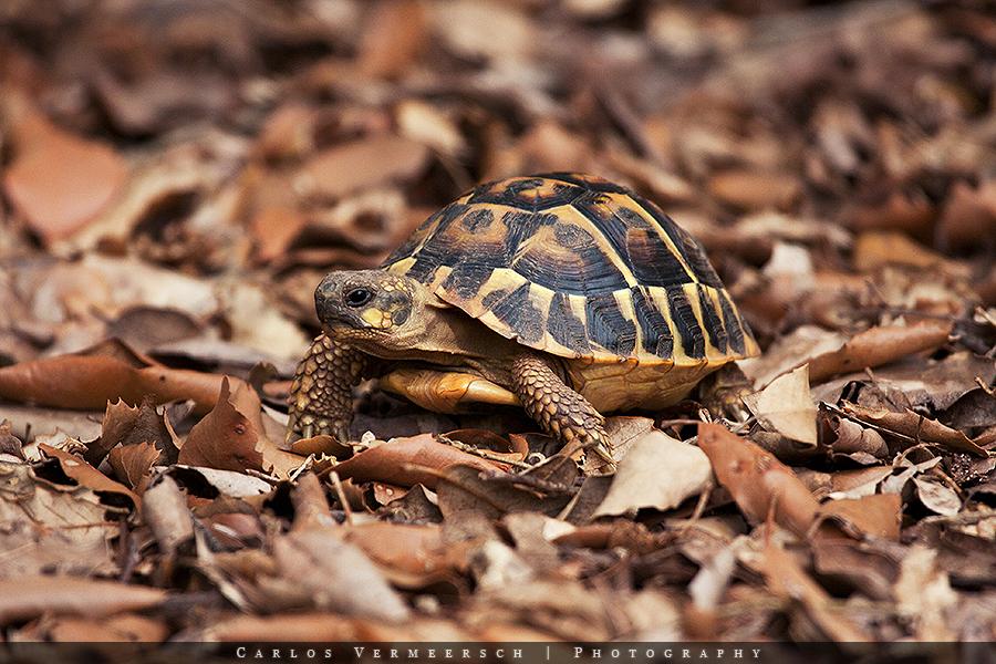 Juvenile Hermann's Tortoise by Solrac1993