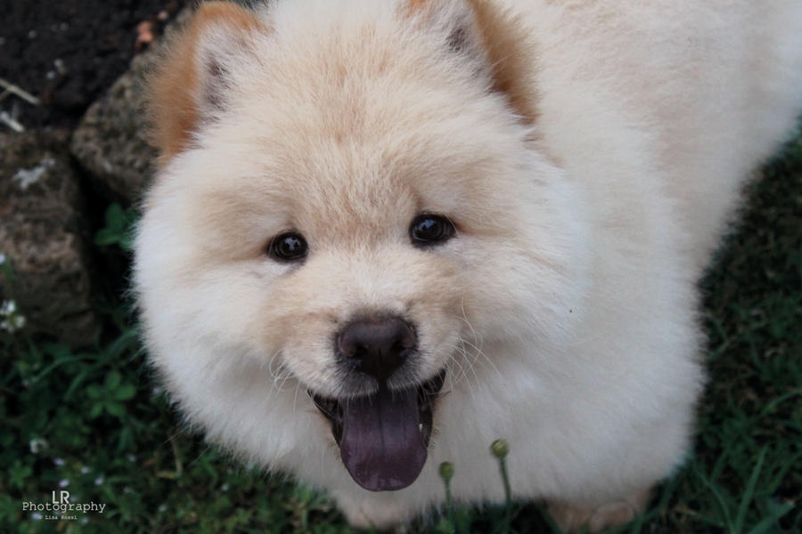 Yasha! Little Chow Chow :3 by LifeIsAWorkOfArt on DeviantArt