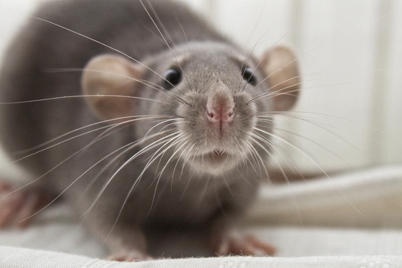 cute rat wallpaper art - photo #3
