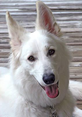 Skywalker White German Shepherd Dog Photo 1