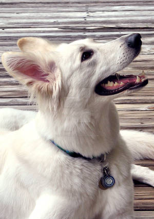 White German Shepherd Dog Profile 2