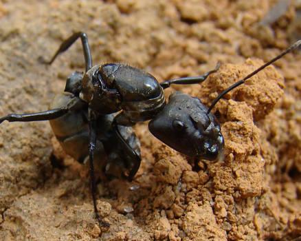Monster Ant - Formiga Monstro