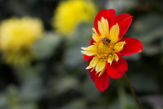 Dahlia and bee