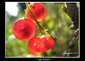 : : red currant : : by EasyCom