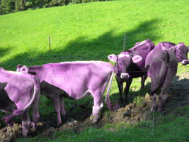 Purple swiss cows by EasyCom