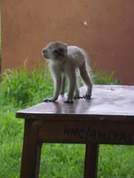 Monkey by khog