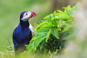 One of the most beautiful bird - PUFFIN