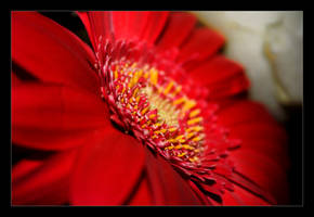 Red Flower by futureplug
