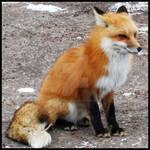 _Fox_