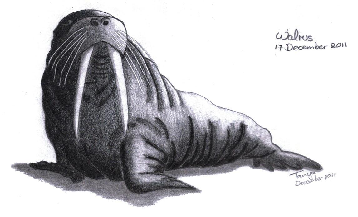Walrus by Elentarri