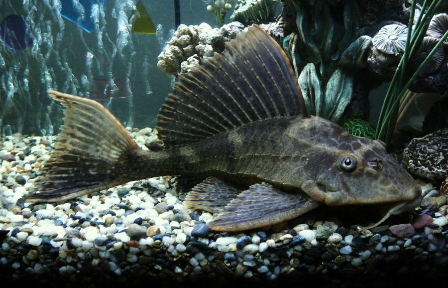 Plecostomus Related Keywords & Suggestions - Plecostomus Long Tail ...